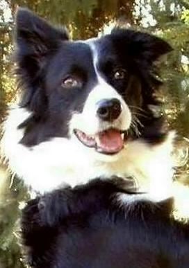 Border Collie Hündin Portrait
