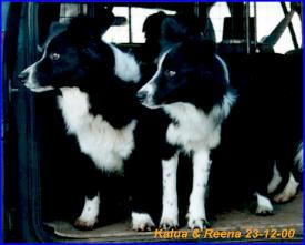 Border Collie im 2er Pack