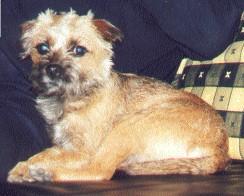 Border Terrier Bilder