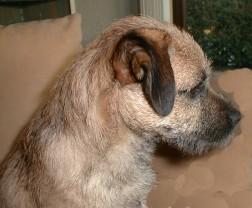 Border Terrier Fotos