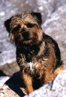 Border Terrier Weibchen