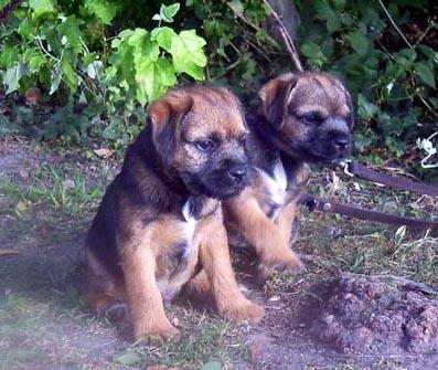 Border Terrier Welpen Bilder