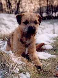 Border Terrier Welpe Bilder