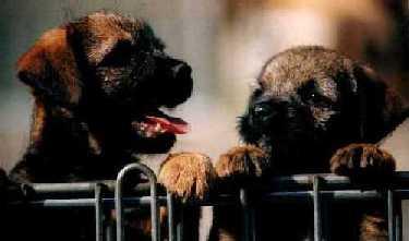 Bilder von Border Terrier
