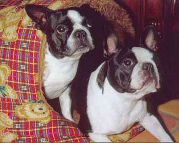 Boston Terrier im 2er Pack