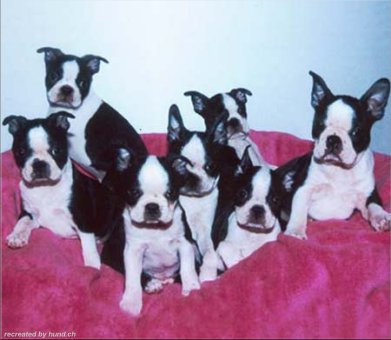 Boston Terrier Welpen Bilder