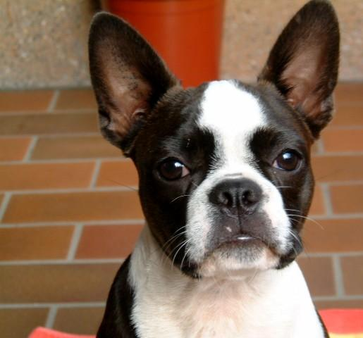 Boston Terrier Portrait