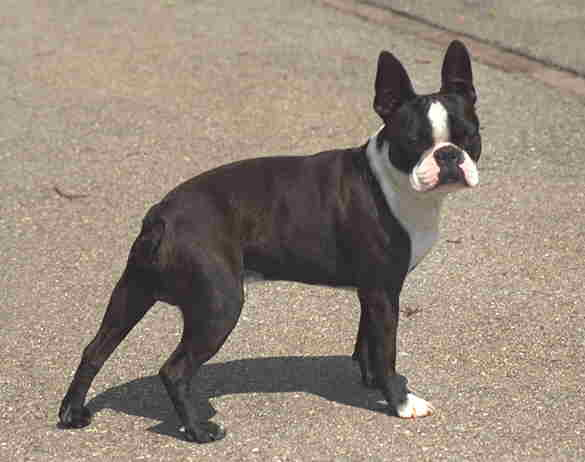 Bilder von Boston Terrier Rüde