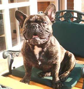 Französische Bulldogge Fotos