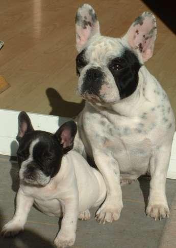 Französische Bulldogge im 2er Pack
