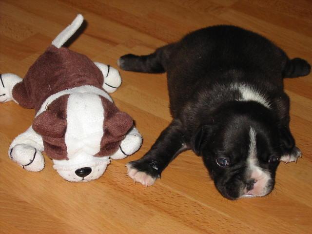 Französische Bulldogge Welpe Bilder