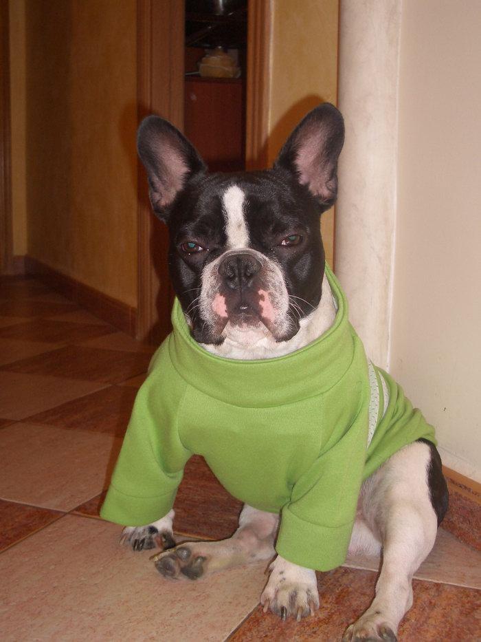 Französische Bulldogge Männchen