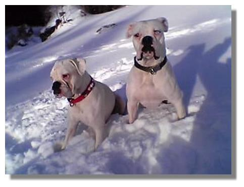 Deutscher Boxer im Schnee