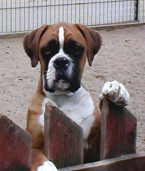 Deutscher Boxer Welpe Bilder