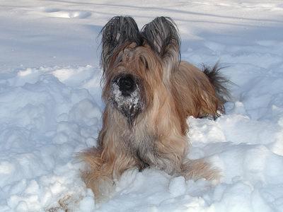 Briard im Schnee