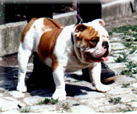 Englische Bulldogge