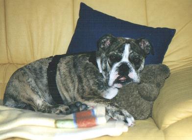 Englische Bulldogge Bilder