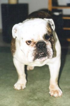 Englische Bulldogge Bilder