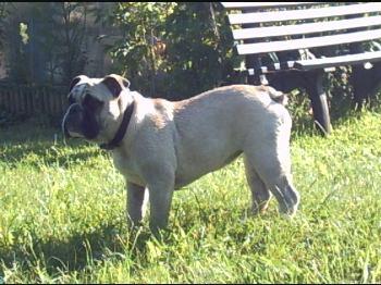 Englische Bulldogge Fotos