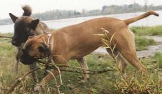 Bullmastiff Bilder