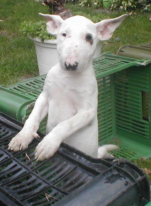 Foto von Bull Terrier Welpe