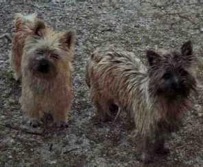 Bilder von Cairn Terrier