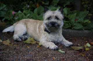 Cairn Terrier Rüde