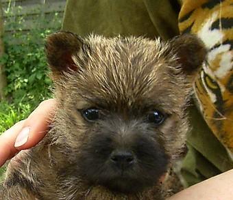 Cairn Terrier Welpe Bilder