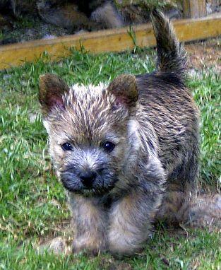 Bilder von Cairn Terrier Welpe