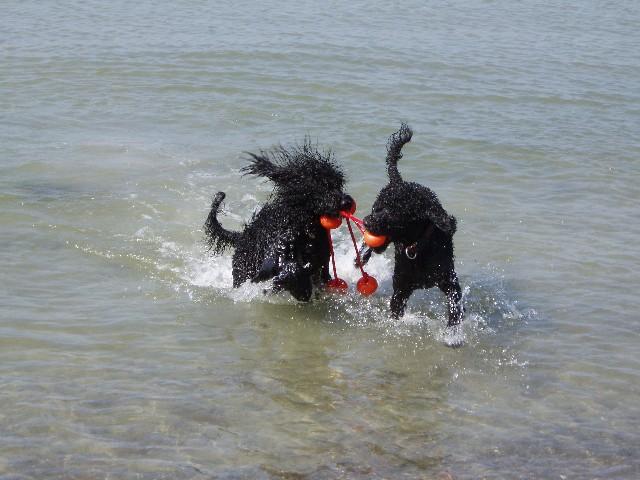 Portugiesischer Wasserhund Bilder