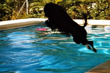 Portugiesischer Wasserhund Fotos