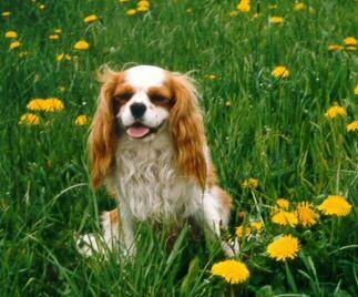 Cavalier King Charles Spaniel Hündin auf dem Rasen