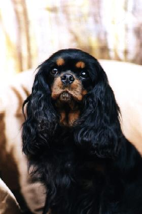 Foto von Cavalier King Charles Spaniel Weibchen