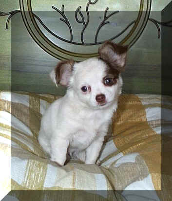 Chihuahua Weibchen Welpe Bilder
