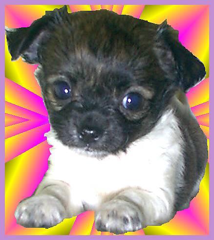 Chihuahua Welpe Bilder Portrait