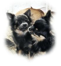 Chihuahua Familie Portrait