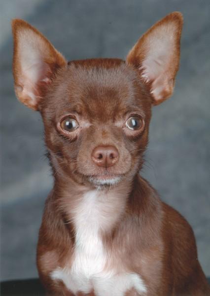 Chihuahua Rüde beim toben