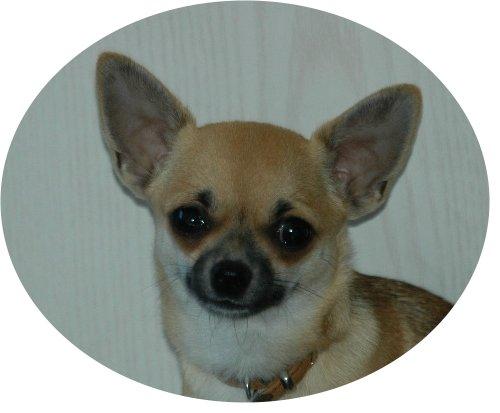 Chihuahua Männchen Portrait