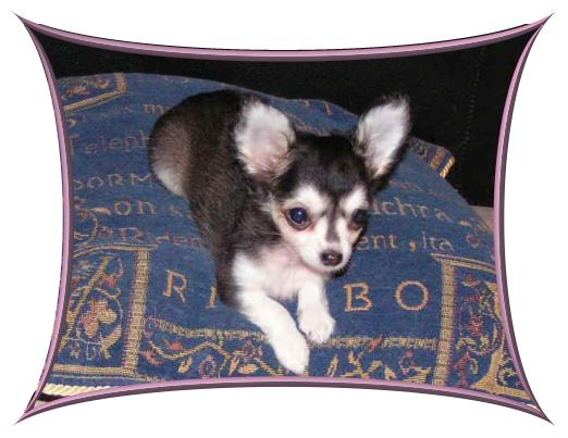 Chihuahua Welpe Bilder