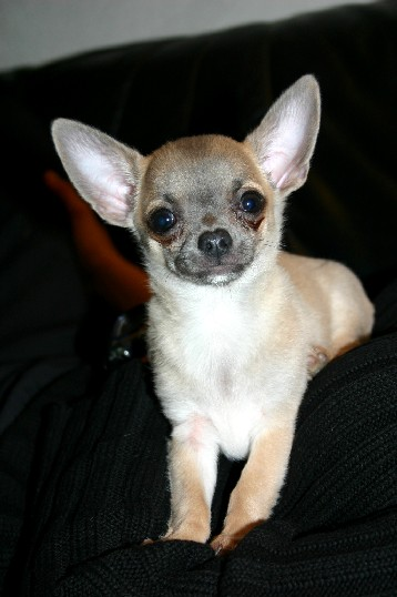 Chihuahua Rüde Portrait