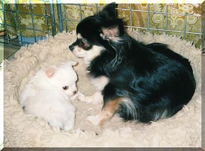 Chihuahua Hündin Familie