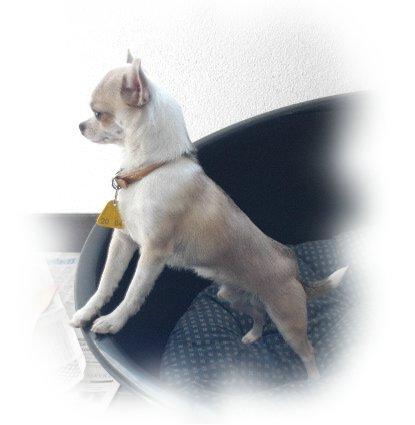 Chihuahua Männchen Hundeschau