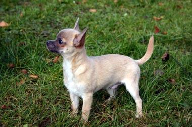 Chihuahua auf dem Rasen