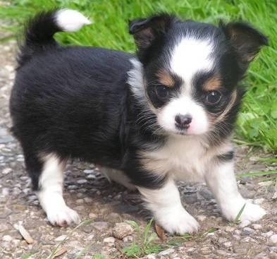 Chihuahua Hündin Welpe