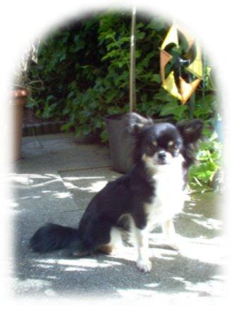 Chihuahua Hundeschau