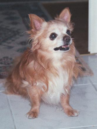Bilder von Chihuahua