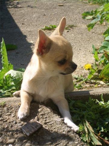 Bilder von Chihuahua Welpe