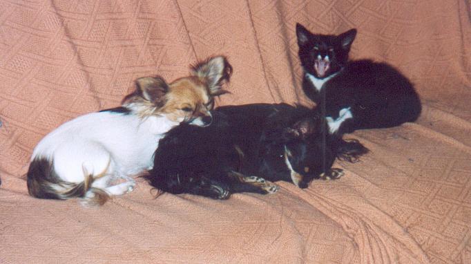 Chihuahua Hündin im 3er Pack