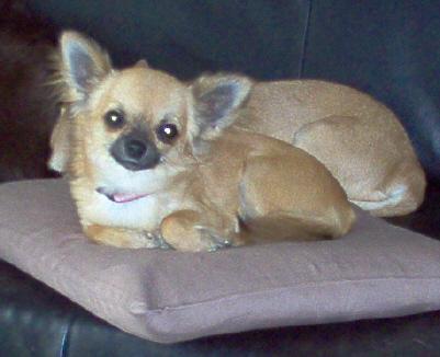 Chihuahua Weibchen Portrait