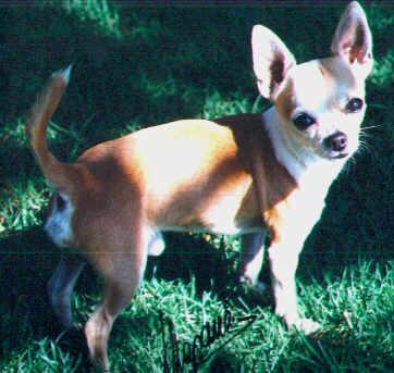 Chihuahua Welpe Bilder auf dem Rasen